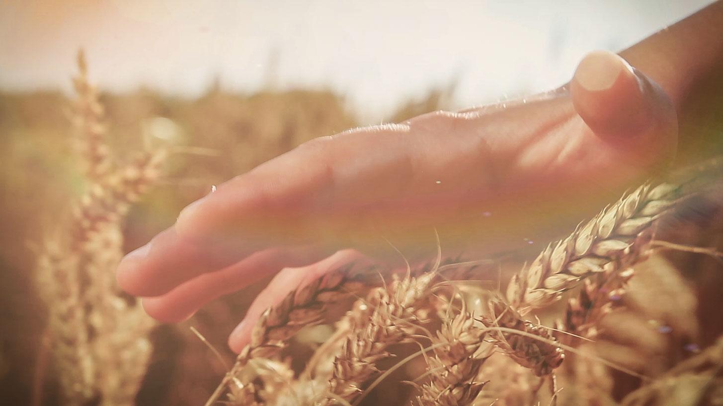 Nahaufnahme der Ähren eines Kornfeldes. Eine Hand streicht über die Spitzen. Auch für Musikvideos eine schöne Kameraeinstellung